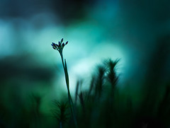 The Light (andreassofus) Tags: macro macrophotography flower floral light bokeh background naturallight spring small smallworld nature intimate intimatelandscape closeup blue green silhouette outdoor inthewoods woods forest sweden tamron tamron90mm