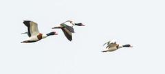 Oare flying Shelducks