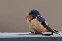 Barn Swallow (JDA-Wildlife) Tags: birds nikon nikond7100 tamronsp150600mmf563divc jdawildlife johnny portrait closeup eyecontact swallows swallowbarn barnswallow whatbirdbestofday