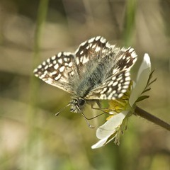 Small bit of love (pauldunn52) Tags: grizzled skipper merthyr mawr nnr dunes glamorgan heritage coast wales strawberry wild