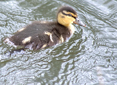 Hi duckie (Tony Worrall) Tags: preston lancs lancashire city england regional region area northern uk update place location north visit county attraction open stream tour country welovethenorth nw northwest britain english british gb capture buy stock sell sale outside outdoors caught photo shoot shot picture captured ashtononribble ashton nature natural bird birds wild wildlife feathers fun life live outdoor young small baby youngster babyducks duck ducks