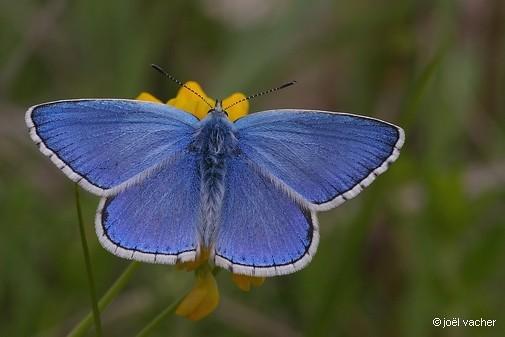 08 Azuré bleu-célèste