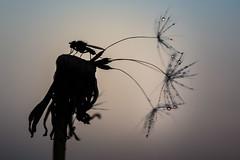 Abendruhe (SonjaS.) Tags: fliege canon6d pusteblume wassertropfen waterdrop dandelion makro 100mm sonjasayer licht sonnenuntergang sunset macro nahaufname closeup reflektionen spiegelung reflection
