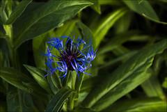 Etes-vous fleur-bleue ? (Sugar 41) Tags: fleur flowers bleu sonya77v proxy 18135mmf3556sam