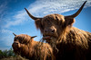 Highland Cattle_7 (hanschristian_nielsen) Tags: highlandcattle bostaurus cattle cow horn sky cloud denmark fejø