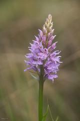 Dactylorhiza_fuchsii0022 (Toni Lluch) Tags: sonya7ii pentaxmmacro100mmf4 orquidea flower flor macro bokeh