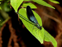 Ebony Jewelwing (Calopteryx maculata)2 (cowyeow) Tags: broadwinged damselfly ebony jewelwing calopteryxmaculata ebonyjewelwing calopteryx maculata macro blue green insect bug bugs nature wildlife forest japan asia asian japanese endemic