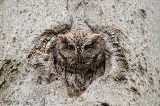 Eastern screech owl (mom)