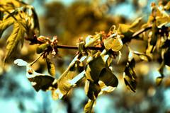 Maple Beginnings (kendoman26) Tags: seeds mapleseeds hss happyslidersunday nikcoloreffex4pro niksoftware nikon nikond7100 nikon1855afs3556