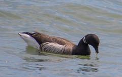 7K8A3215 (rpealit) Tags: scenery wildlife nature barnegat lighthouse state park brant goose bird