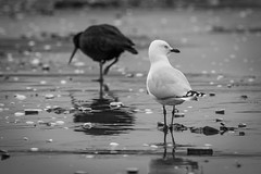 Seagull and pied oystercatcher
