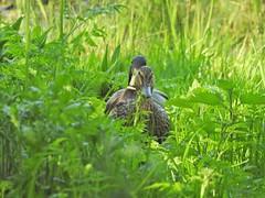An evening stroll (Simply Sharon !) Tags: mallards ducks birds britishwildlife wildlife nature rspb rspboldmoor