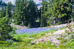 Lupin in bloom (Ken Zaremba) Tags: cascademountains geography goatrockswilderness lupin northamerica outdooractivities outdoorsports snoqualmienationalforest unitedstates upperrivercamp washington washingtonstate backpacking camping flowers hiking wildflowers yakima geo:lon=12137176036111 geo:state=washington geo:lat=46489115333333 geo:country=unitedstates geo:location=unnamedroad geo:city=yakima