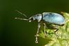 Groene struiksnuitkever, Polydrusus sericeus? (hansKiek) Tags: snuitkever polydrusus sericeus kever tor groene struiksnuitkever formosus green immigrant leaf weevil snout beetle seidiger glanzrüssler rüsselkäfer