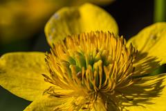 Yellow (Jontsu) Tags: yellow flower macro sigma 105mm nikon d7200 luonto kukka finland suomi nature macrounlimited
