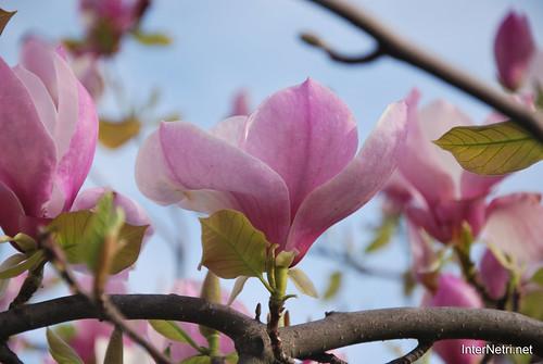 Ботанічний сад імені Гришка Цвітуть магнолії InterNetri  Ukraine 184