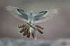 Cuckoo (Mike Mckenzie8) Tags: cuculus canorus british uk wild wildlife bird parasitic migrant hethland moor
