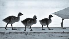 Follow Mum... (Raquel Borrrero) Tags: bird ave pose family familia lago pond agua walk animal