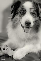 Hello Panda My Old Friend (Jasper's Human) Tags: aussie australianshepherd dog panda zippypaws