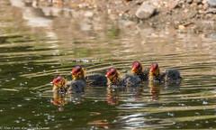 9Q6A4634 (2) (Alinbidford) Tags: alancurtis alinbidford brandonmarsh nature wildbirds wildlife cootchicks