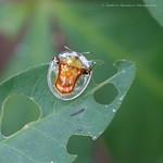 Aspidimorpha furcata thumbnail