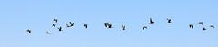 White-faced Ibis (Plegadis chihi); Belen Wetlands, NM [Lou Feltz] (deserttoad) Tags: wildlife nature newmexico wetlands desert bird wildbird shorebird ibis migration reflection water