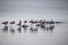 Uccelli in natura (paolotrapella) Tags: uccelli natura flamingo fenicotteri rosa acqua water