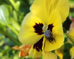 Pansy (ryorii) Tags: pansy violadelpensiero flower flowers fiore fiori insetto natura nature canon primavera spring yellow giallo garden gardenflowers insect