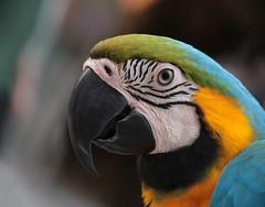 Parrot (Dragan*) Tags: parrot bird animal blueandyellowmacaw araararauna head eye vivid beak portrait nature outdoor