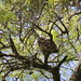 Cárabo común - Strix aluco - Tawny owl