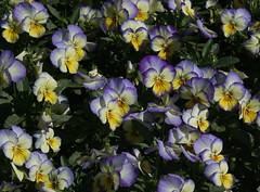 Horn-Veilchen - Horned Violets (Wolfgang Bazer) Tags: hornveilchen horned violets viola cornuta botanischer garten wien vienna österreich austria blumen flowers