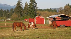 Sun setting on horses (PDX Bailey) Tags: sunset landscape horse tree mountain hill red grass field ranch farm rural brown pinto hay graze 7dwf