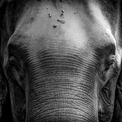 0740 The Square Elephant (Hrvoje Simich - gaZZda) Tags: animal mamals elephant nature wild portrait closeup monochrome blackwhite chitwan nepal asia nikon nikond750 nikkor283003556 gazzda hrvojesimich
