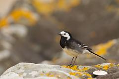 pied wagtail (jon lees) Tags: bird coastal countydown northernireland ballyholme groomsport