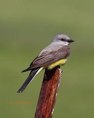Western kingbird posing helpfully (Victoria Morrow) Tags: