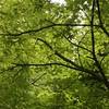 青紅葉のなか In the green leaves (eyawlk60) Tags: momiji maple leaf green 青葉 モミジ 日本 春 初夏 緑 カエデ イロハモミジ flickraward