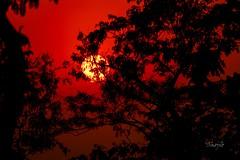 Red Sunset (Shojib77) Tags: goldensunset sunset redsunset goldenhour sun evening endofday streetphotography traveling treebranches sreemangal sylhet srimangal bangladesh
