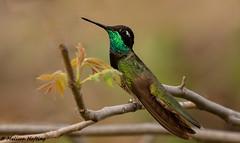 Banded Male Rivoli's Hummingbird (Eugenes fulgens) - Portal, AZ (bcbirdergirl) Tags: male rivolishummingbird az us usa portal southwesternresearchstation cochisecounty eugenesfulgens banded