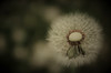 Open-hearted (DrQ_Emilian) Tags: dandelion flower plant garden floral outdoors nature natural spring mood season light colors details macro closeup bokeh lowkey photography hobby center middle core stetten kernen remstal badenwürttemberg germany