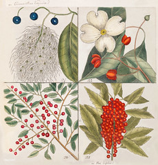 23. Dogwood Tree (Cornus Was Virginiana 24. Fringe Tree (Amelanchior Virginiana) 25. Dahoon Holly (Agrifolium Carolinenfe) 26. Yapon (Caffena vera Floridanorum) from The Natural History of Carolina, Florida, and the Bahama Islands (1754) by Mark Catesby ( (Free Public Domain Illustrations by rawpixel) Tags: tags agrifolium amelanchior bahama caffena carolina carolinenfe catesby cornus dahoon dogwood florida floridanorum fringe history holly island mark markcatesby name natural tree vera virginiana was yapon