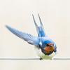 rechts af ... (turn right) (robvanderwaal) Tags: 2018 vogels natuur netherlands nature bird birds nederland boerenzwaluw robvanderwaalphotographycomvogel hirundoristica barnswallow zwaluw swallow