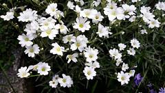 Szelíd fehér szépségek (Ják) (milankalman) Tags: white flower garden spring plant nature