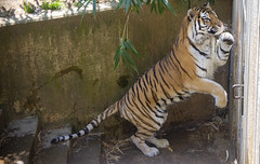 National Zoo 3 May 2018  (400) Tiger (smata2) Tags: tiger tigre smithsoniannationalzoo zoo zoosofnorthamerica itsazoooutthere animals zoocritters bigcats flickrbigcats