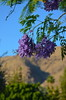 Jacaranda Blossoms (Neal D) Tags: california palmsprings oasisresort tree blossom blossoms jacaranda