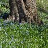 Lisle, IL, Morton Arboretum, Spring Flowers (Mary Warren 10.5+ Million Views) Tags: lisleil mortonarboretum nature spring flora tree trunk bark plants blue green blossoms blooms flowers