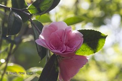 Pink Rose (MVS Photography) Tags: rode hall bluebell walk snowdrops summer floral flowers flower vibrant colour color pink
