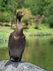 cormorant.jpg (Stephen B Jessop) Tags: 2018 olympus cormorant texas bird water usa houston stephenbjessop em5mk2