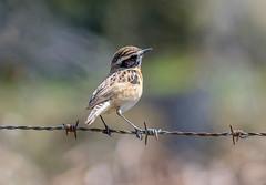 DSC0355  Whinchat... (jefflack Wildlife&Nature) Tags: whinchat chats summermigrant birds avian animal animals wildlife wildbirds uplands moorland heathland hedgerows songbirds countryside copse nature