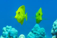 tang2Mar30-18 (divindk) Tags: hawaii hawaiianislands maui underwater zebrasomaflavescens bestfreinds color diverdoug marine ocean reef sea tang underwaterphotography yellowtang
