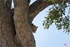 curious leopard (luciano.leuzzi) Tags: leopard africa bush animal felini verde savana botswana acqua